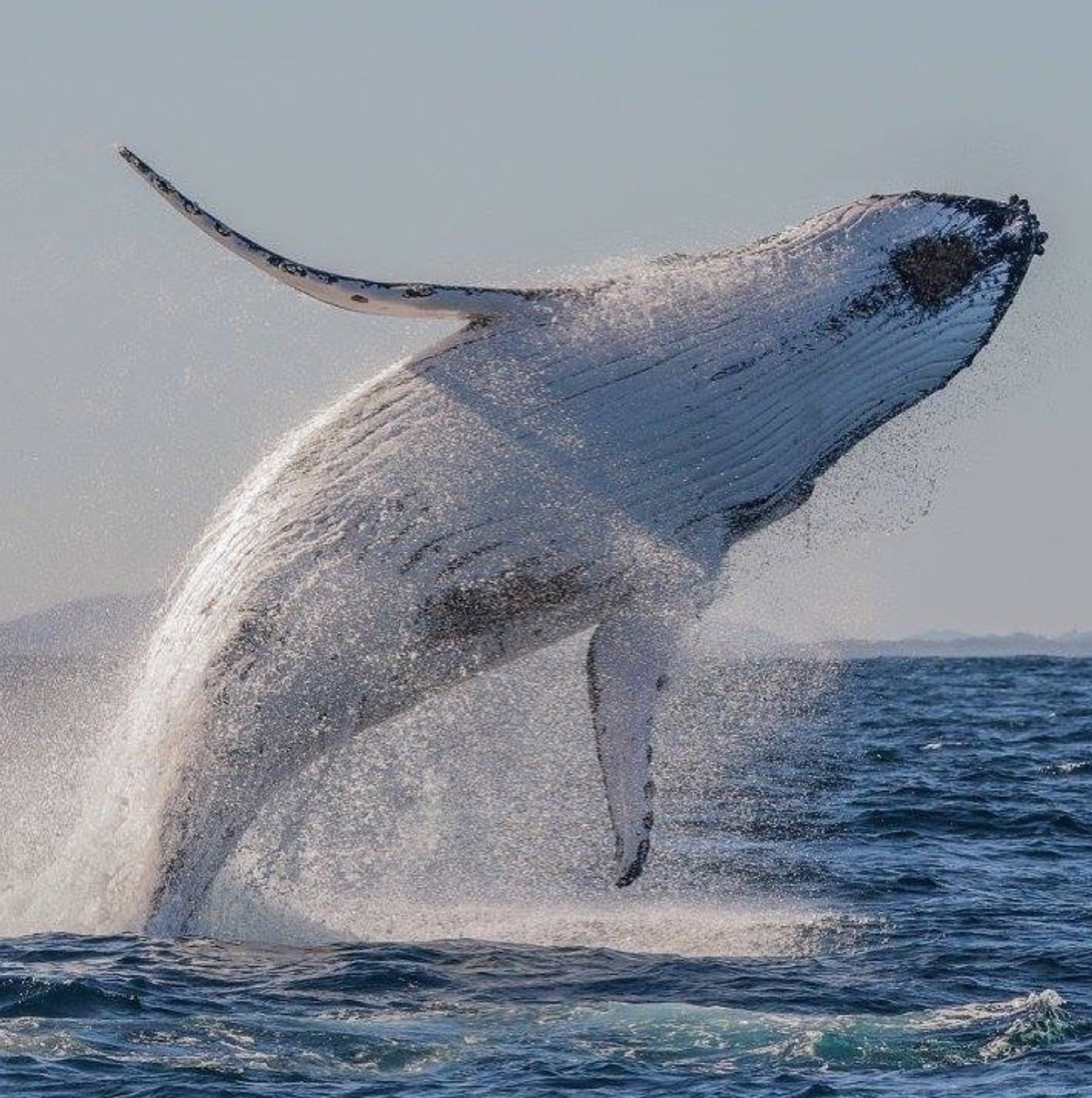A hump back whale does an enormous breach off Port Stephens